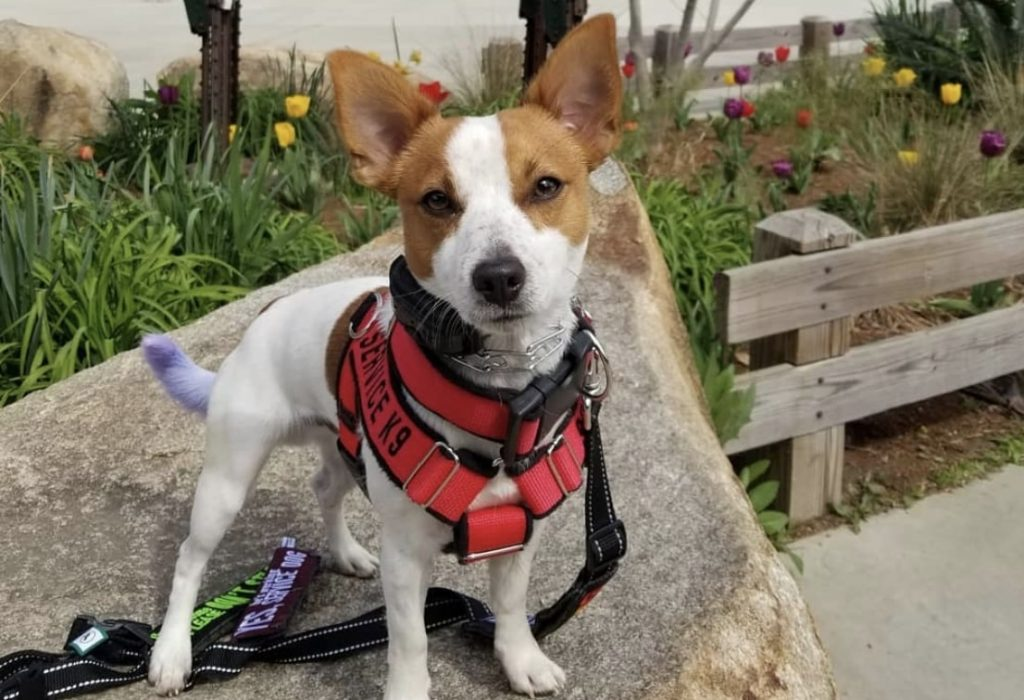 The Jack Chi is a Chihuahua and Jack Russell Terrier mix.