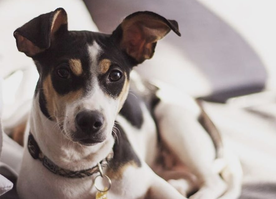 The Jack-A-Bee is a hybrid of the Jack Russell Terrier and Beagle.