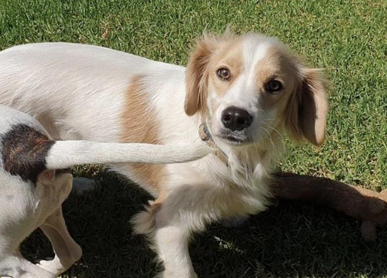 The Malteagle is the Maltese Beagle mix.