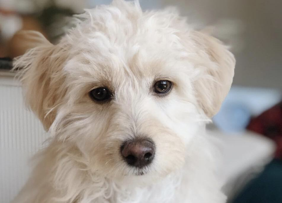 The Maltipoo is the popular Maltese Poodle mix.