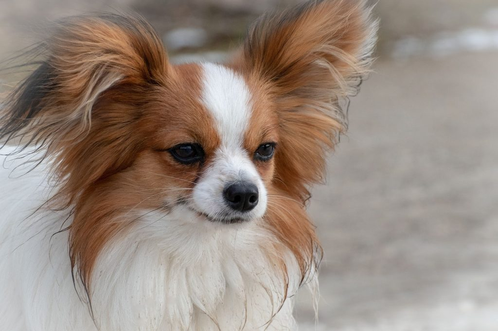 As the most famous Spanish dog, the Papillon is also one of the smartest dog breeds in the world.