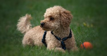 Some of the best designer dogs in the world are Poodle mixes.