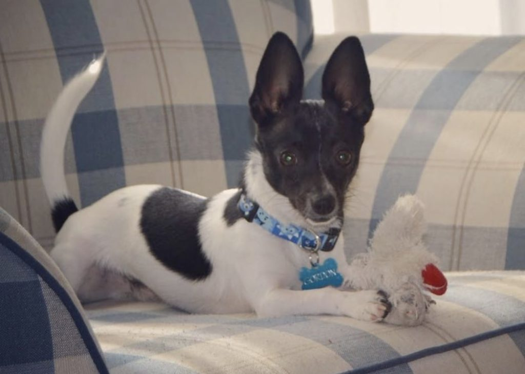 The Rat Cha is the Chihuahua Rat Terrier mix.