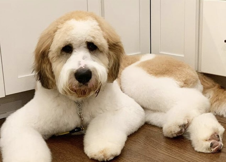 The Saint Berdoodle is a cross between the Saint Bernard and Poodle.