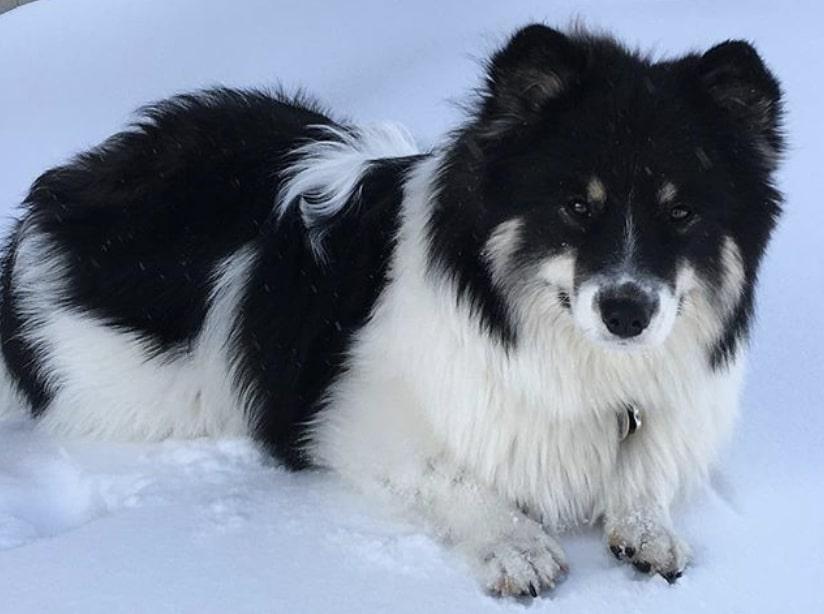 The Corgmoyed is a combination of the Samoyed dog and Welsh Corgi.