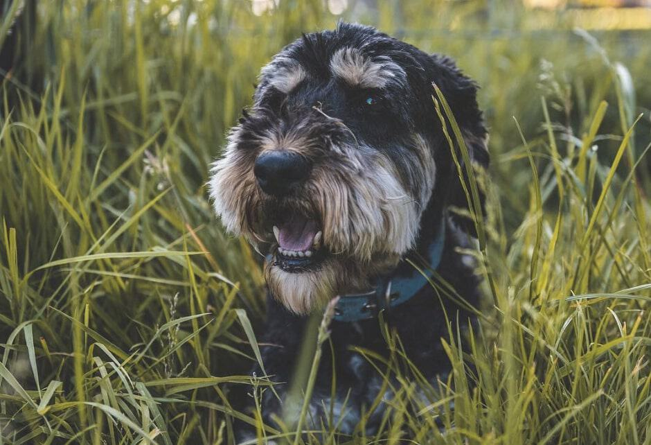 The Schnocker is a cross between the miniature Schnauzer and Cocker Spaniel.