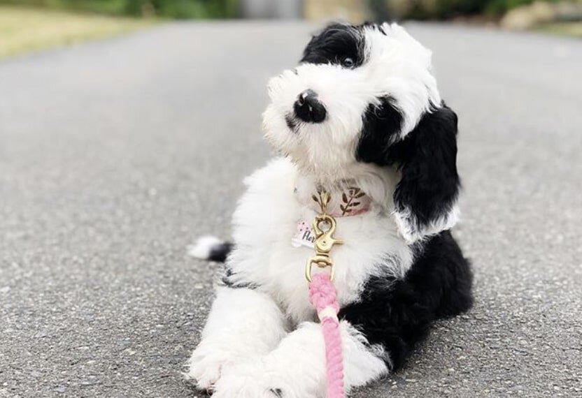 The Sheepadoodle is the Old English sheepdog Poodle mix.