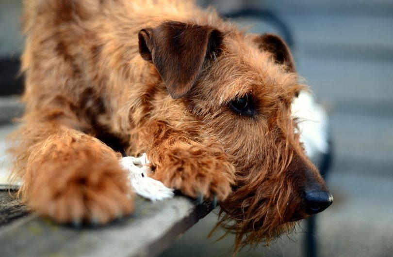 Terriers have become widely popular, and as a result, there are plenty of Terrier mixes now.
