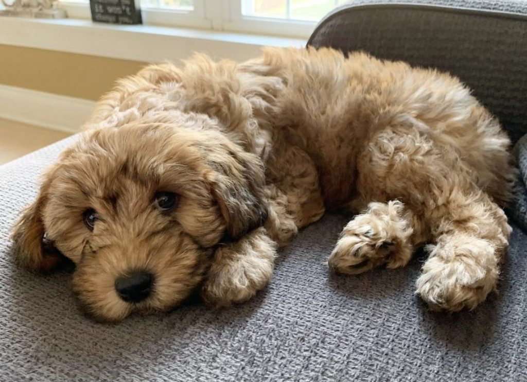 The Whoodle is a Poodle and Soft Coated Wheaten Terrier mix.