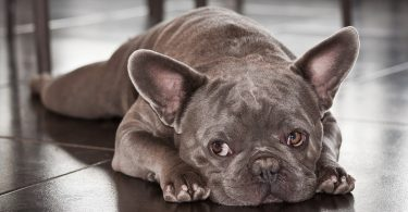 There are 8 major and popular colors of French Bulldogs.