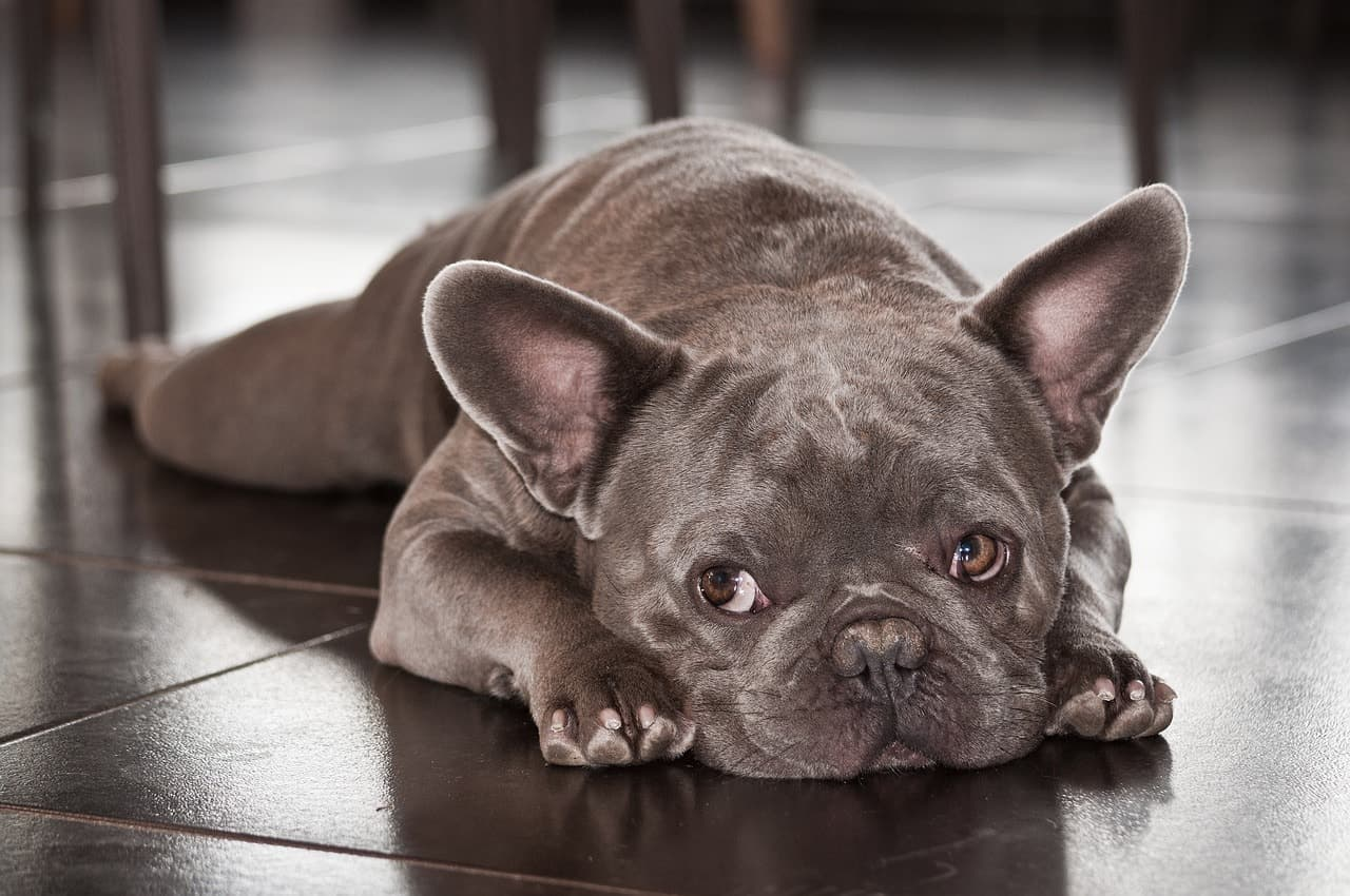 8 Fabulous French Bulldog Colors Best