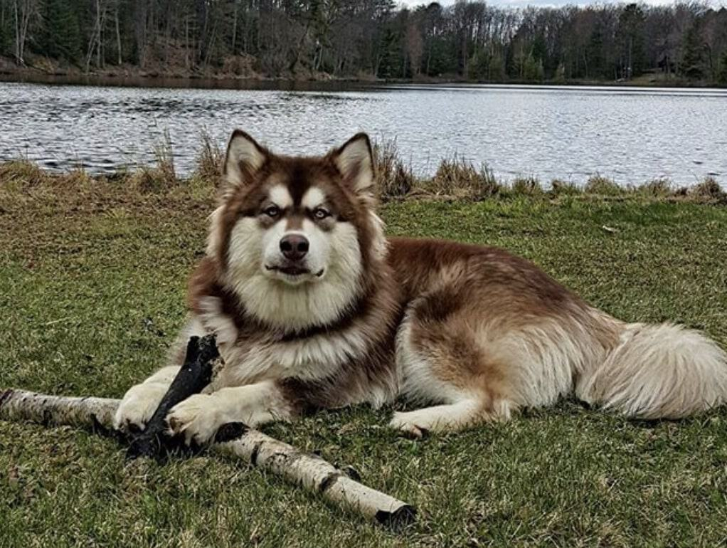 The Alusky is the combination of the Alaskan Malamute and Siberian Husky - two very similar dog breeds.