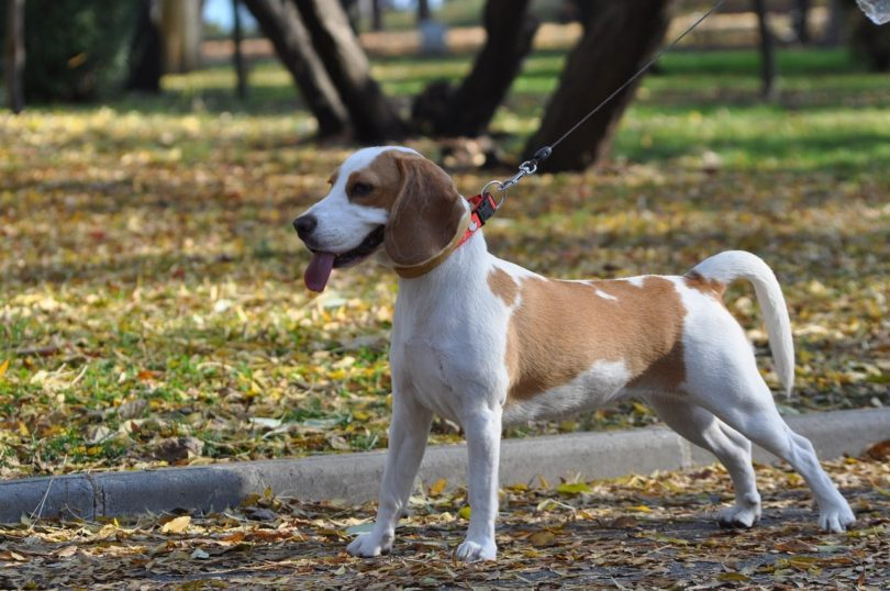 Though the most popular is the classic tri-color, there many other colors and variations of the Beagle.