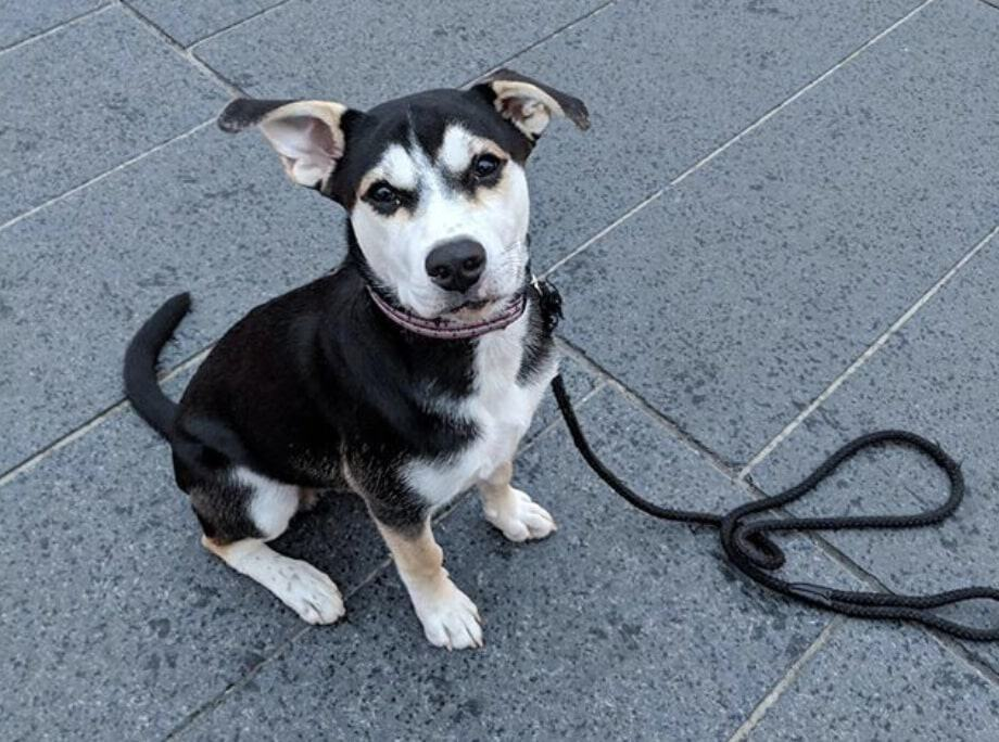 Combining a Beagle and Husky will give you a Beaski.