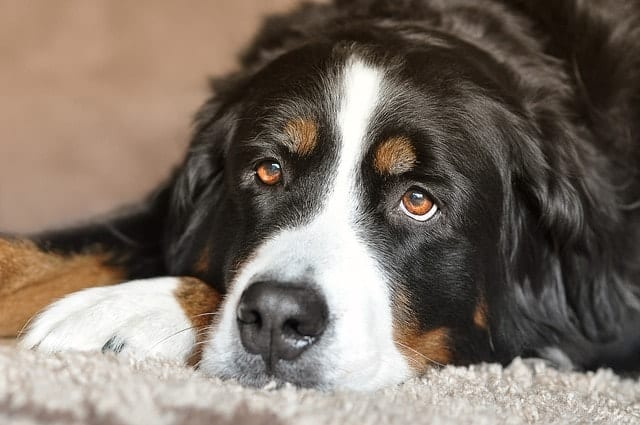 Bernese Mountain Dogs are another great apartment dog that don't really bark much.