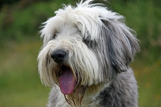 The Bearded Collie is one of the most famous dog breeds because of the fluffy coat.