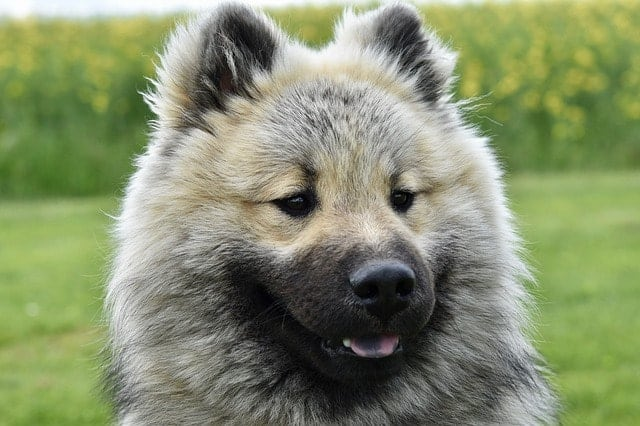 The Eurasier dog has a soft fluffy coat.