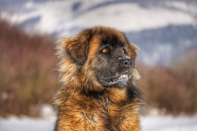 The fluff of the large Leonberger protects it against the harsh winters.