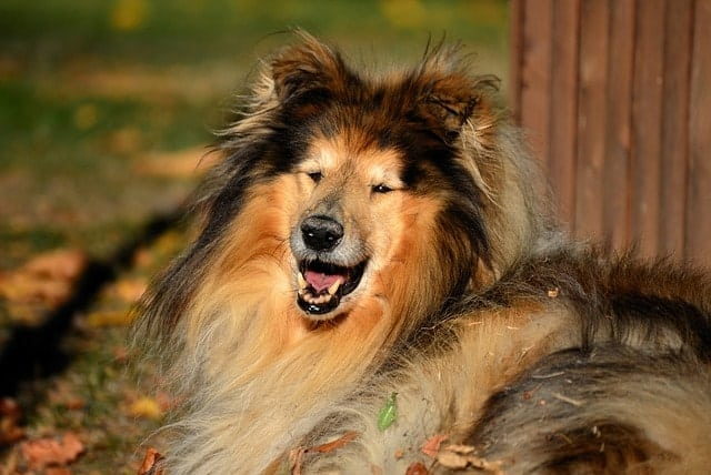 Rough Collies have some of the fluffiest coats. However, Smooth Collies do not.