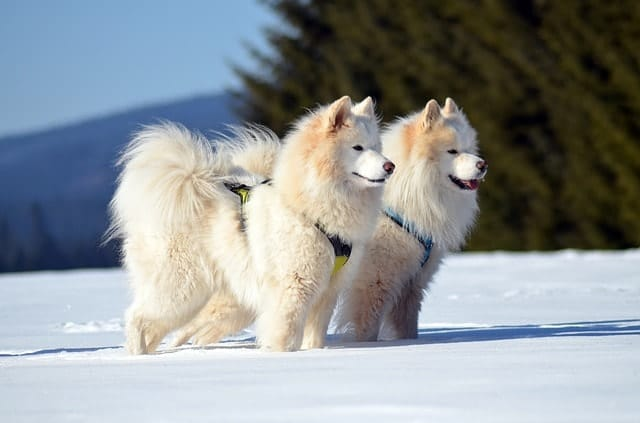The large Samoyed are the ultimate white fluffy dogs.