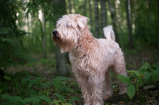 The Soft Coated Wheaten Terrier is exactly what the name says...they're soft and fluffy.