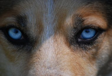 Dogs with blue eyes are more common than you think. Here are the best blue eyed dogs on the market.