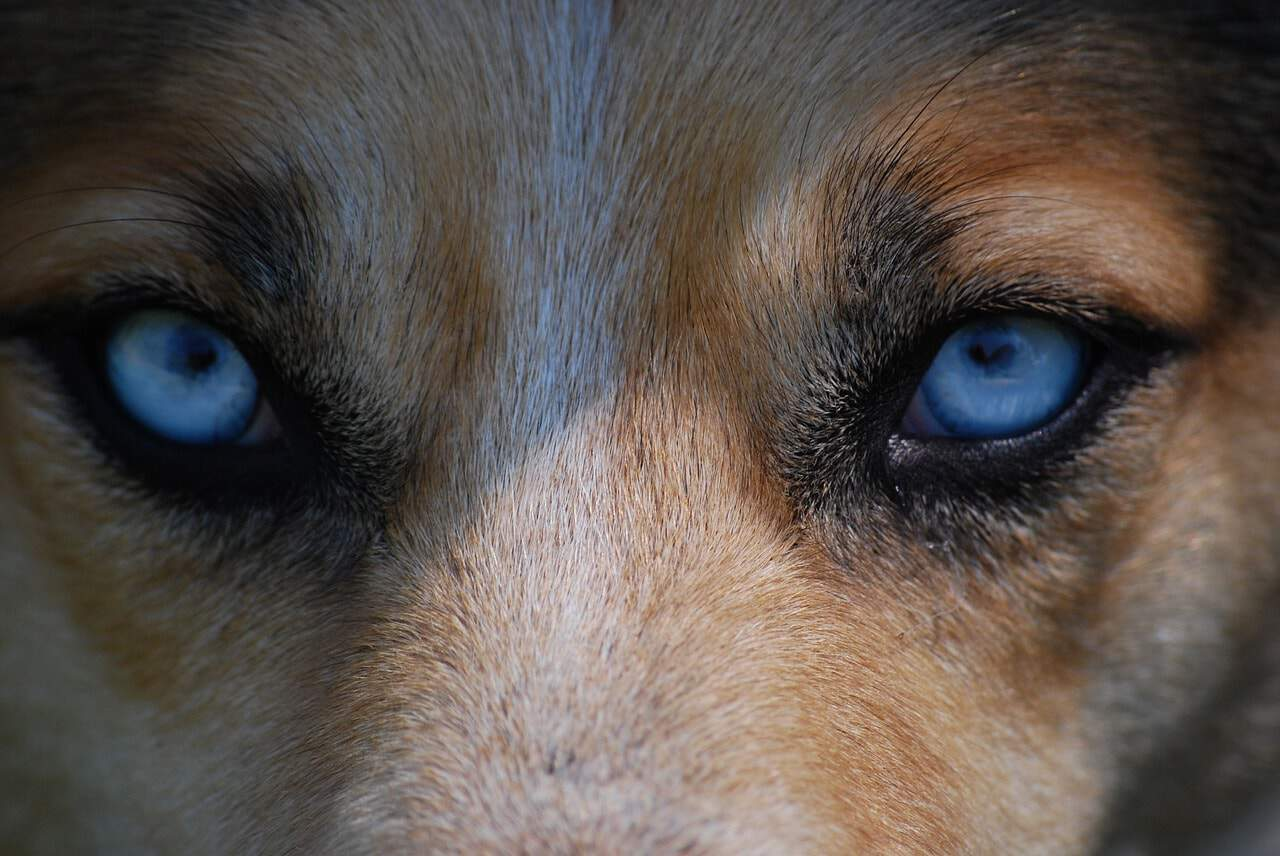 15 Stunning Dogs With Blue Eyes