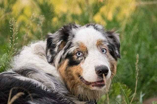 Blue merle Aussies have amazing temperaments and personalities that'll fit an active owner.