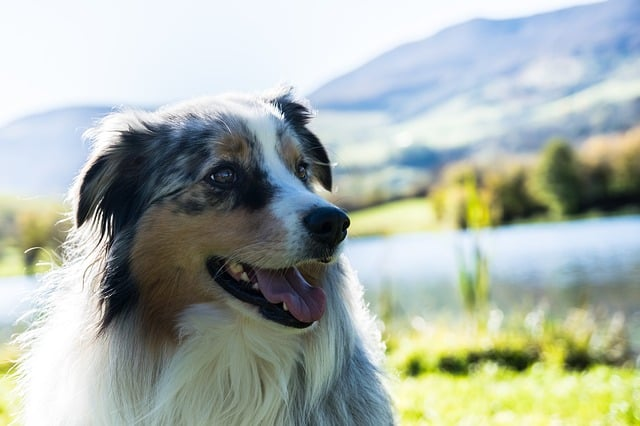 There are a number of things to consider before purchasing a blue merle Australian Shepherd.