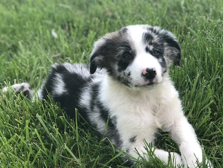 The blue merle and white australian shepherd has a merle base coat with only white markings.