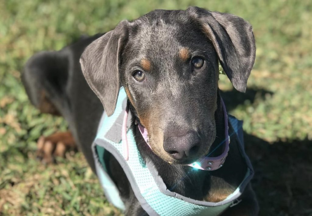 The Blue and Rust Doberman is a standard color of these dog breeds.