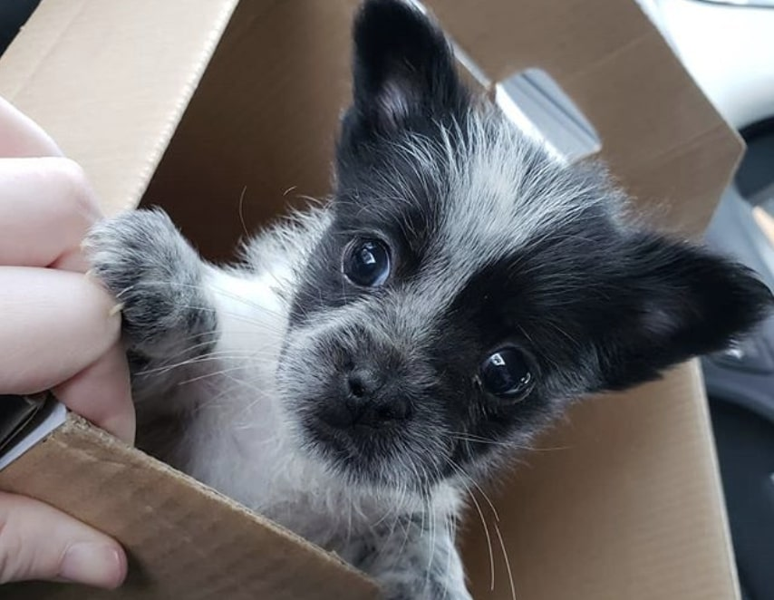 The Blue Tzu is a hybrid of the Australian Cattle Dog and Shih Tzu.