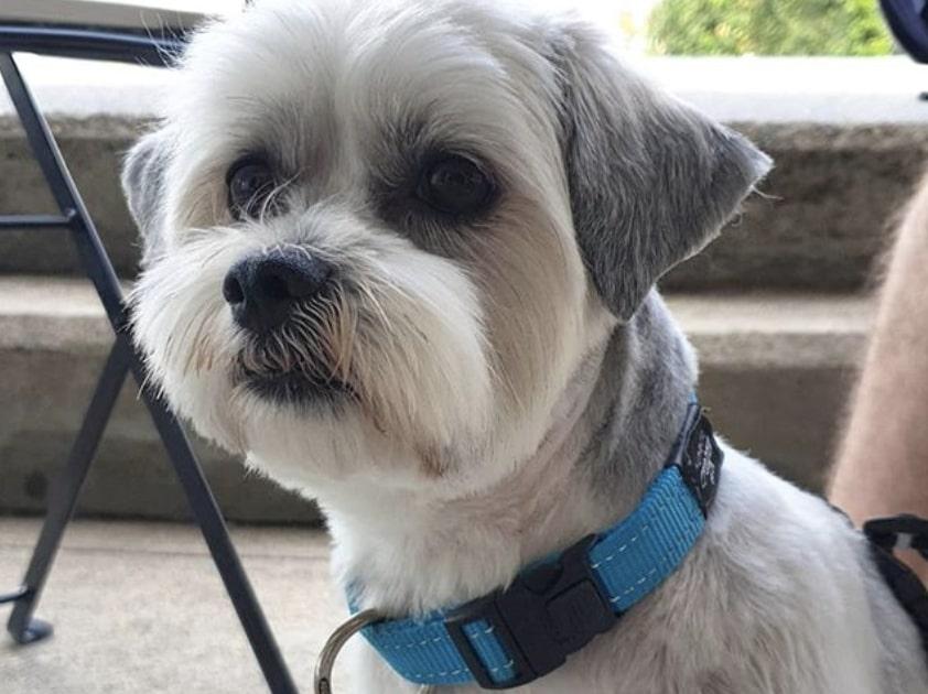 The BoloTzu is a rare crossbreed of the Bolognese dog and Shih Tzu.