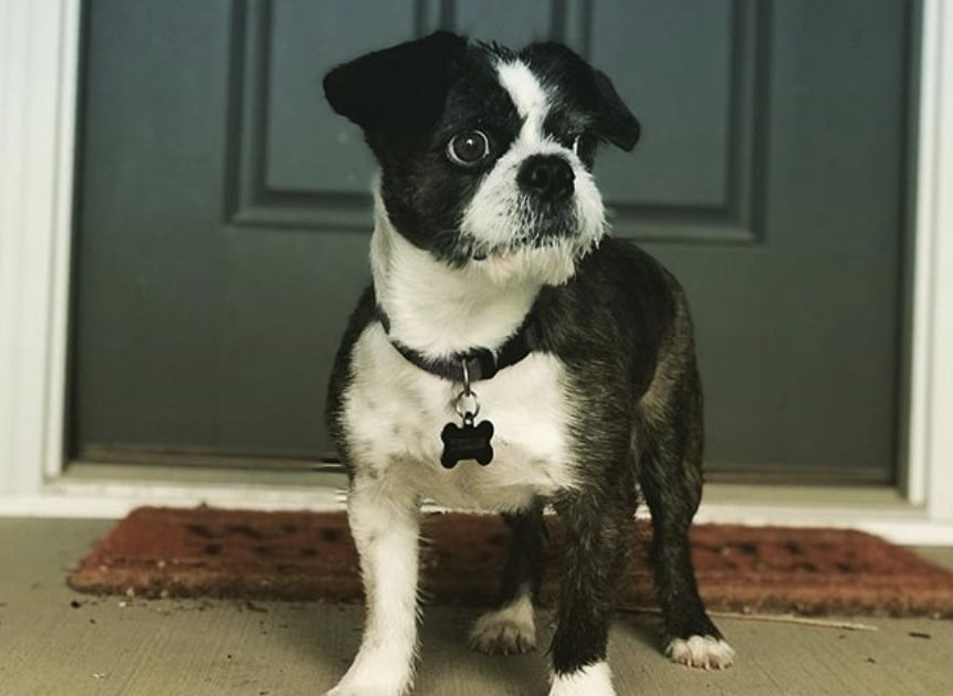 The Boshih is a unique blend of the Boston Terrier and Shih Tzu.