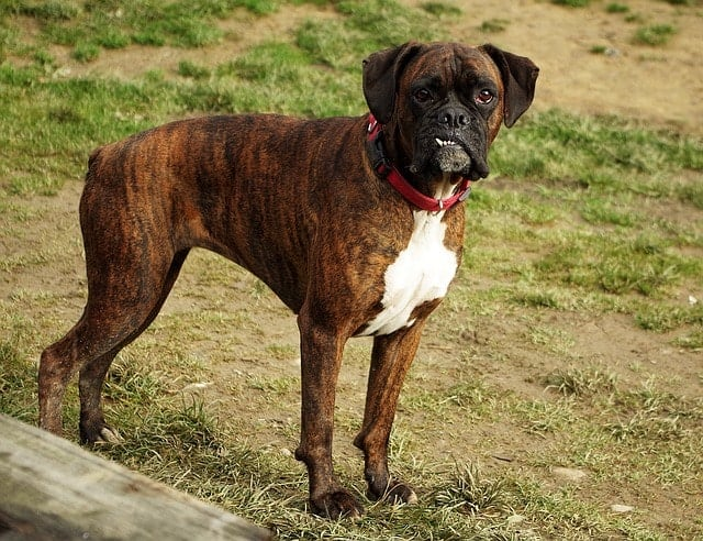 Brindle Boxers are also a very popular color choice for these dogs.