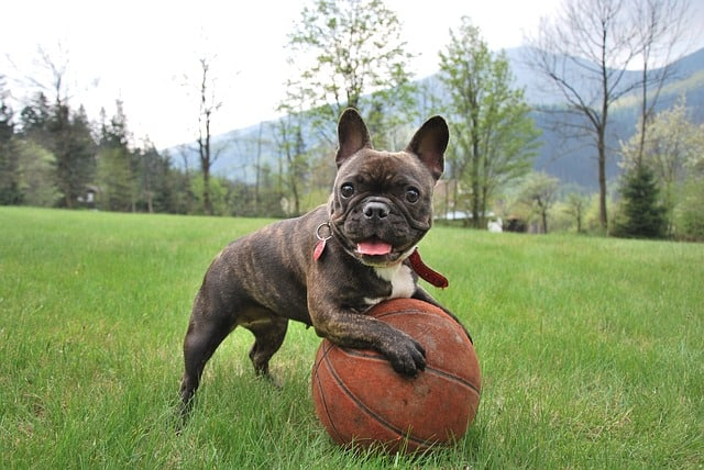 The Brindle is the most popular color of the French Bulldog.