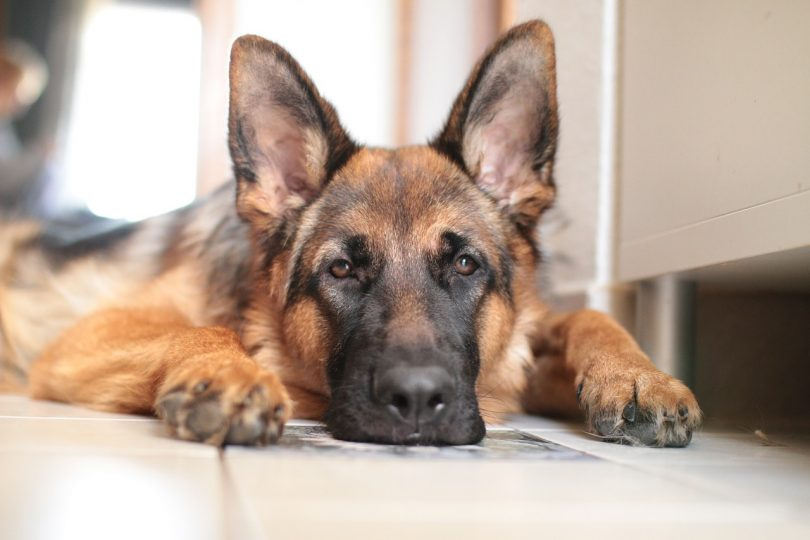Despite their size, can German Shepherds live in apartments?