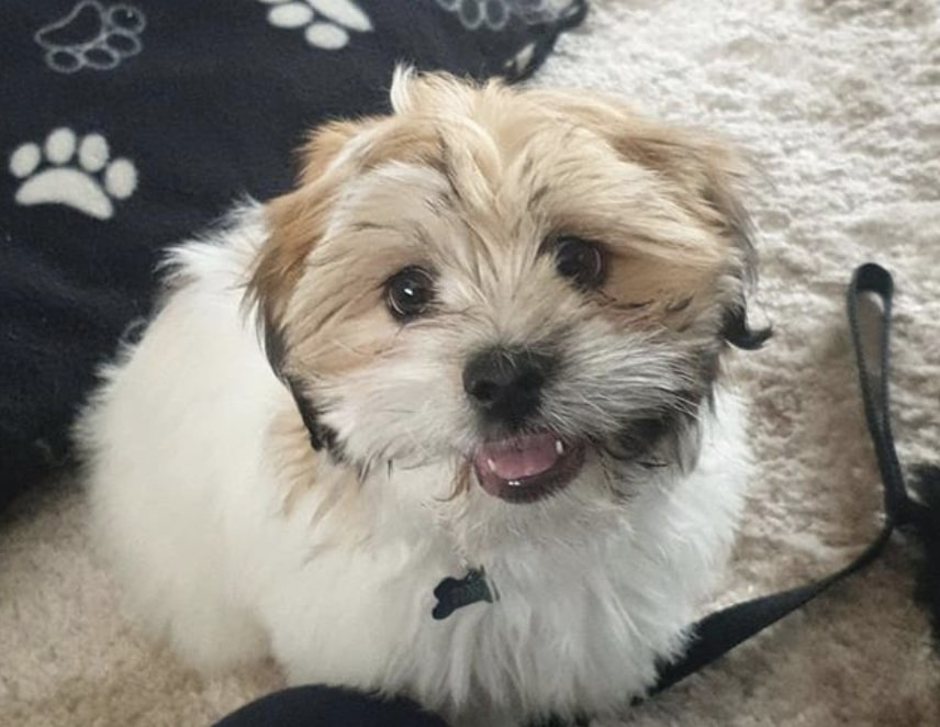 The Care Tzu is a designer dog bred with Cairn Terrier and Shih Tzu.