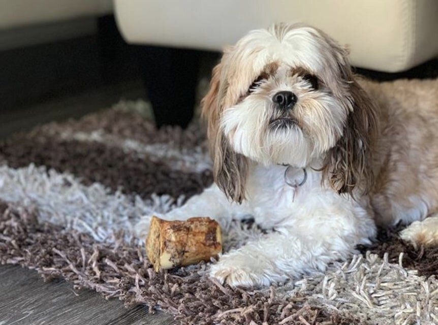 The Cava-Tzu is a combination of the Cavalier King Charles Spaniel and Shih Tzu.