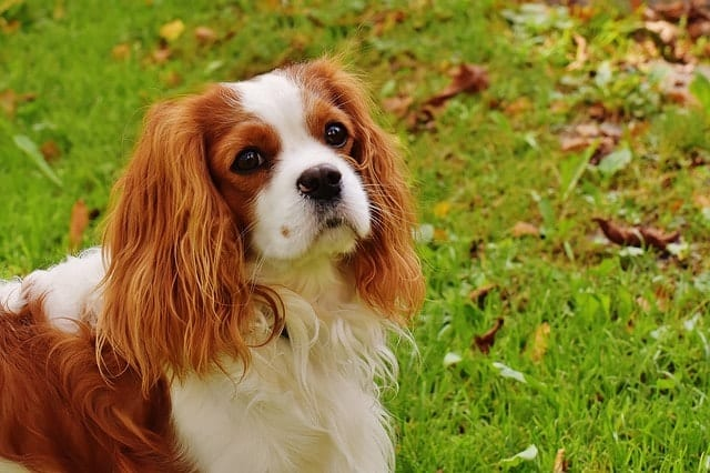 Cavalier King Charles Spaniels are inherently quiet and don't really bark that much.