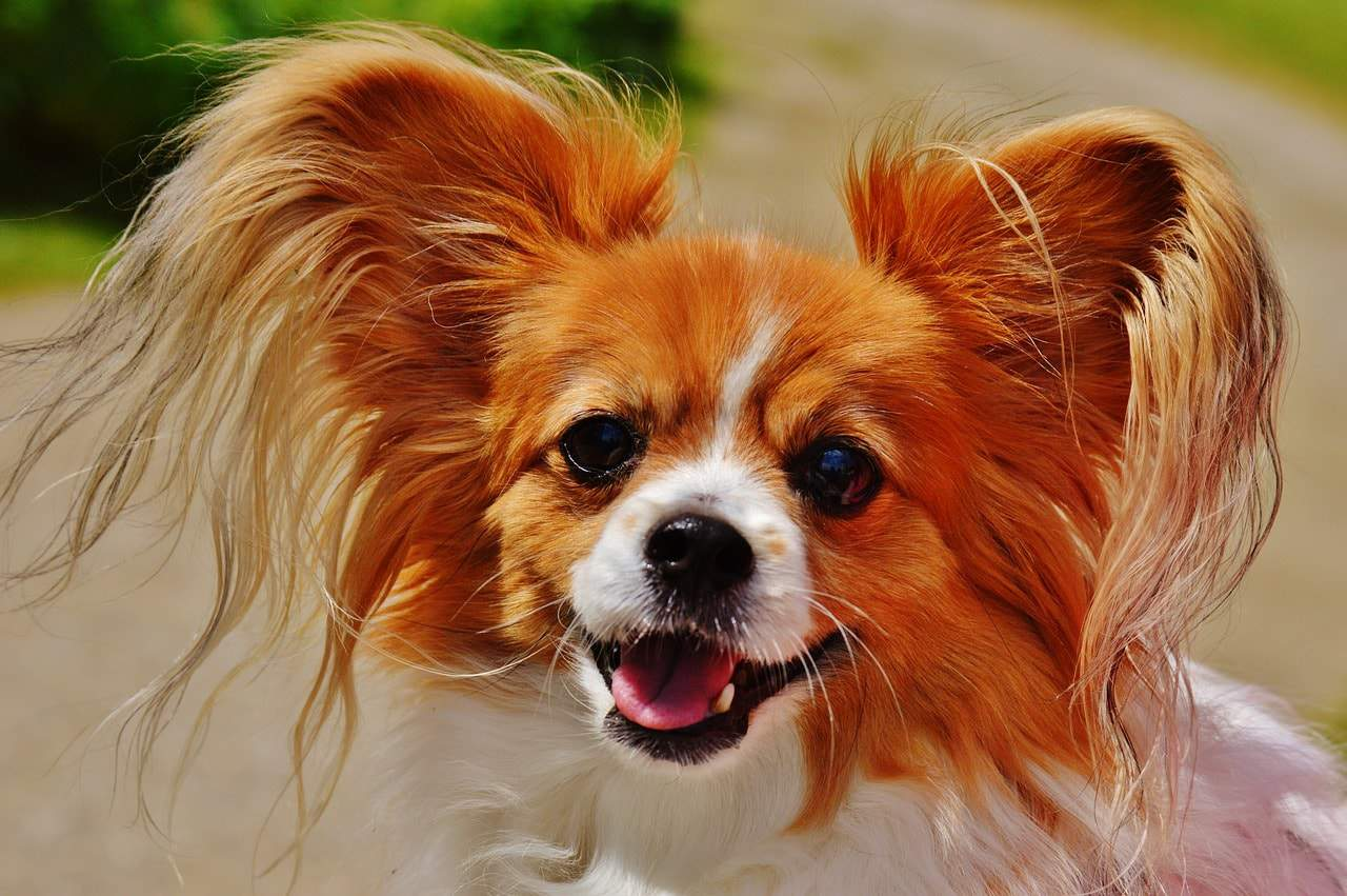 These are the most unique and interesting Chihuahua mixes.
