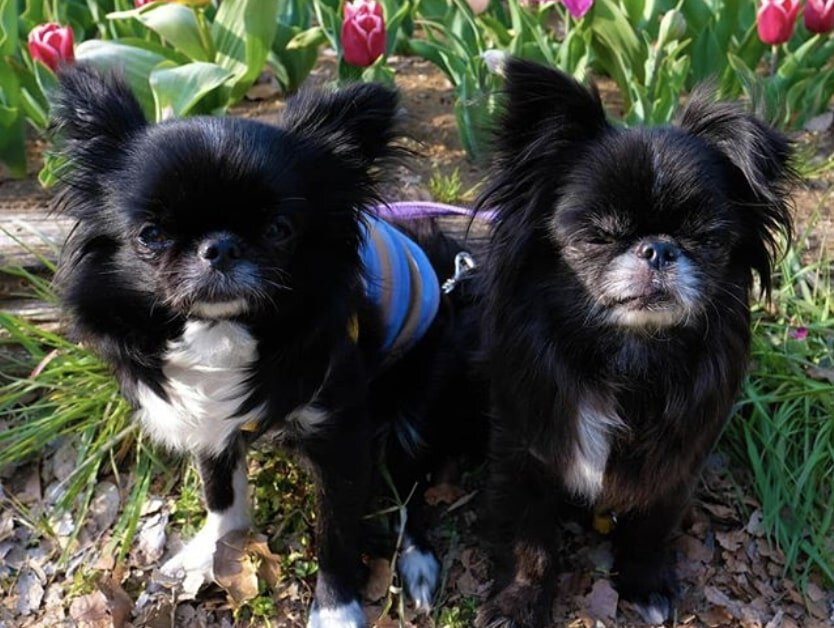 The Chinwa is the result of crossbreeding a Japanese Chin with a Chihuahua.