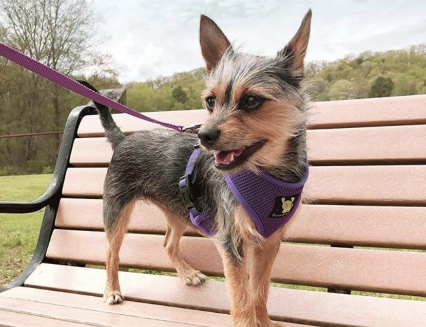 The Chorkie is a beautiful designer dog consisting of Chihuahua and Yorkie.