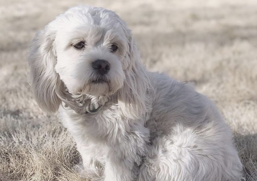 The Cock-A-Tzu is an unusual hybrid, combining the Cocker Spaniel with the Shih Tzu.