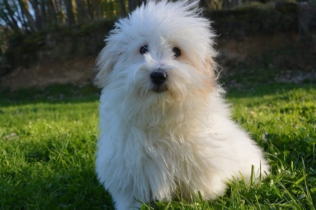Coton de Tulear are great for apartments because they don't bark and they're hypoallergenic.