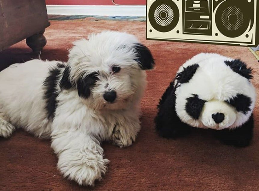 The Coton Tzu is a hybrid of the Coton De Tulear and Shih Tzu.