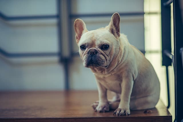 Creamed color Frenchies are probably the rarest colors for this breed.