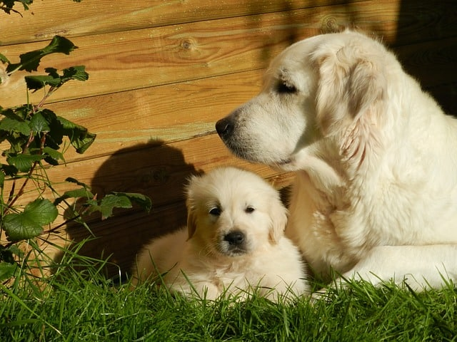 Cream colored Golden retrievers have a light off-white.