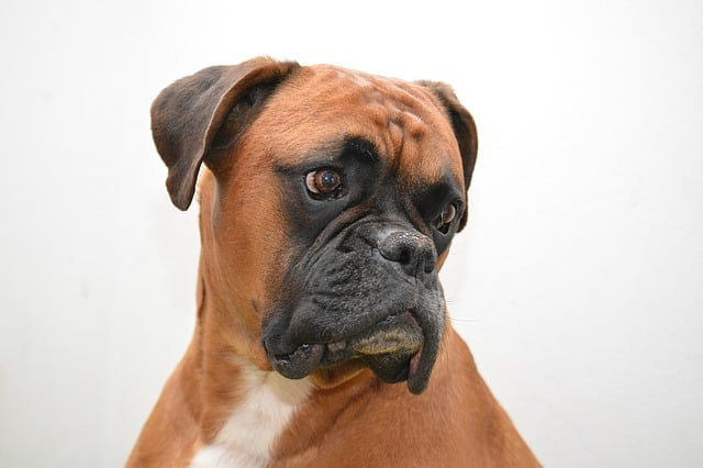 The fawn colored Boxer is by far the most popular Boxer color.