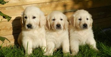 Discover the 5 different shades and colors of Golden Retrievers.